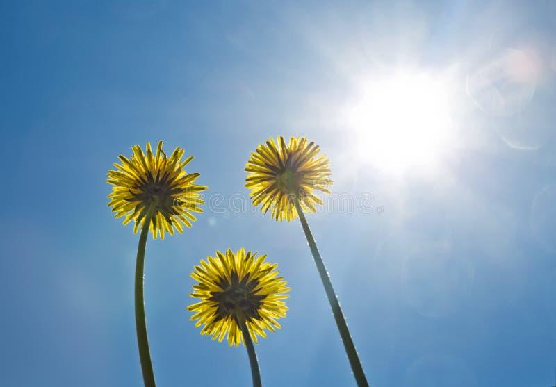 Dandelions on the blue sky. Bright sun. Sunshine. royalty free stock image