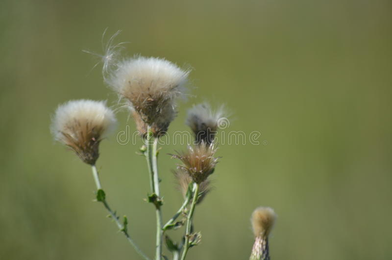 The Dandelions stock images