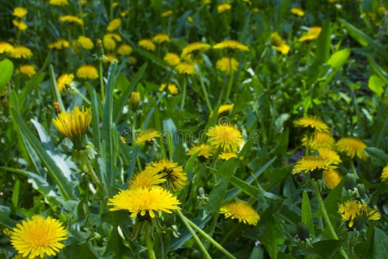 dandelions dof pola płycizna obrazy royalty free