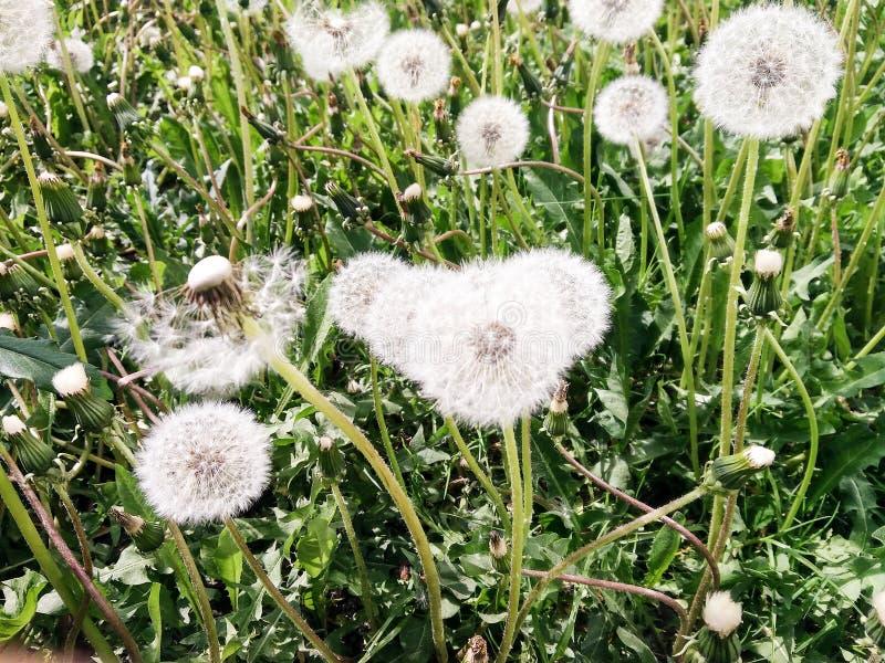 Dandelions en la hierba fotografía de archivo libre de regalías