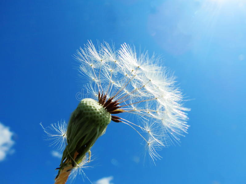 Download Dandelions Faded Stock Images - Image: 32897094