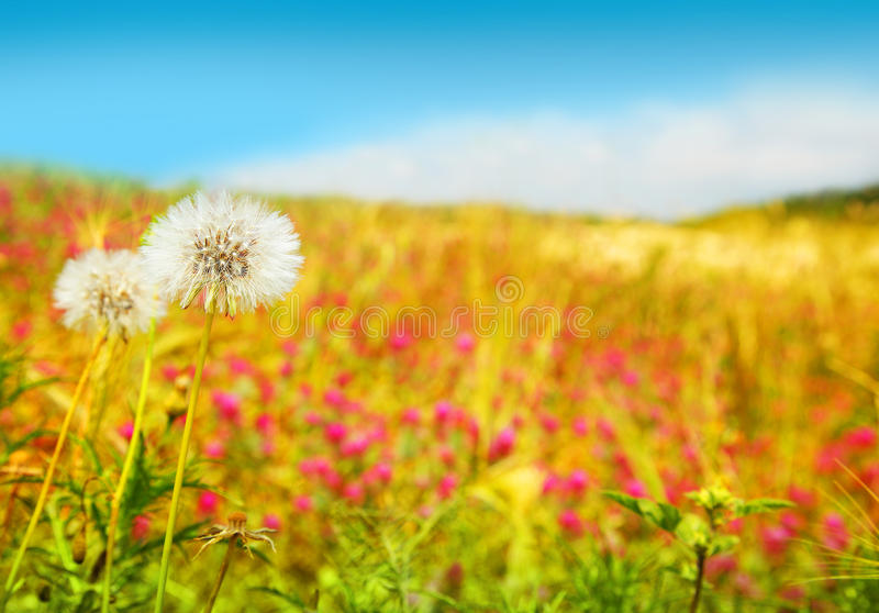 Dandelions field stock photography