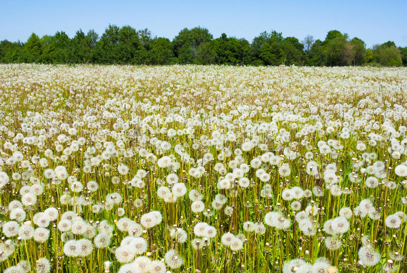 Dandelions In The Field Royalty Free Stock Photography