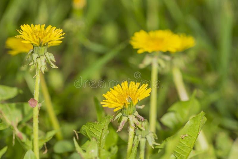 Dandelions in field stock image