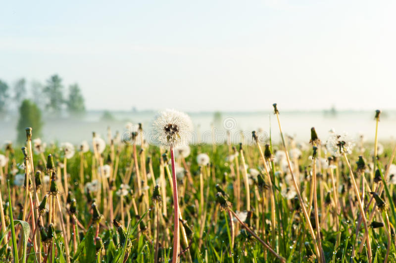 Dandelions field with morning rays of sunlight. Outdoors sunrise. Dandelions field with morning rays of sunlight. Outdoors foggy sunrise royalty free stock image