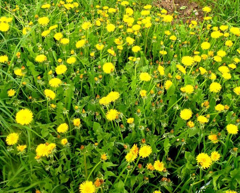 dandelions Fiori nel giardino in un giorno soleggiato fotografia stock libera da diritti