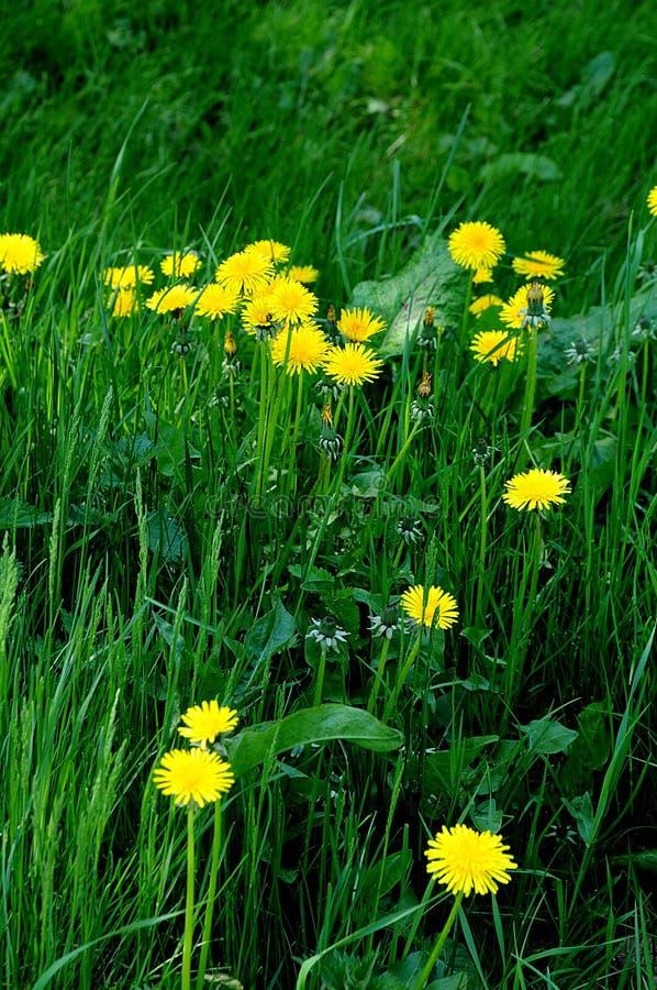 Dandelions flowers. Copenhagen/Denmark 13.May 2018_ .Dandelions flowers in nature in danish capital. Photo.Francis Joseph Dean / Deanpictures royalty free stock photos