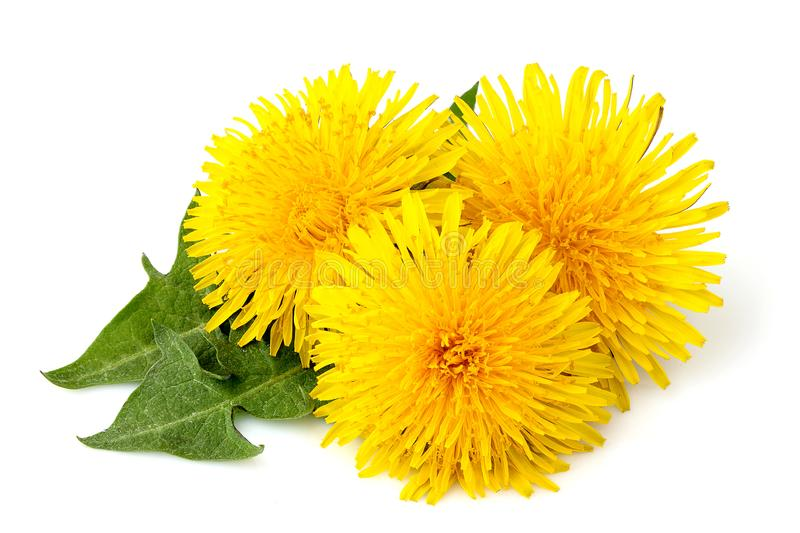 Dandelions flowers with dandelion leaf isolated. On white background stock images