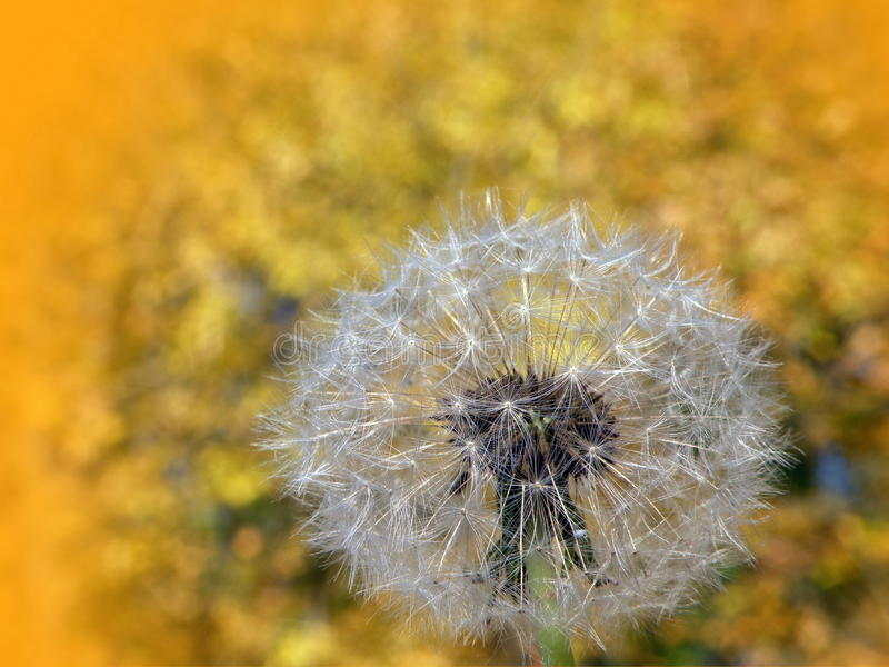 Dandelions fluff. In natural autumn leaves background, Lithuania stock photos