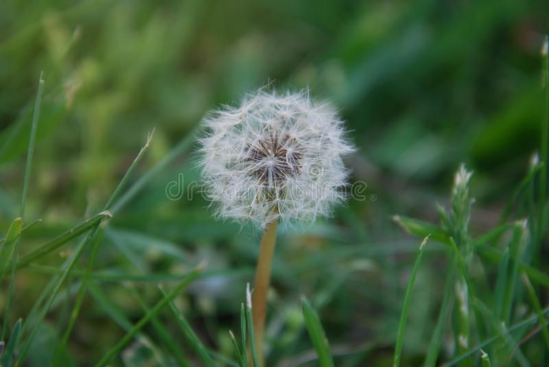 Dandelions Fluffy in the Green Grass Summer time stock photo