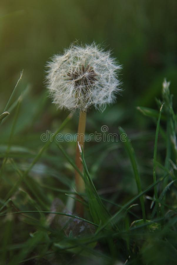 Dandelions Fluffy in the Green Grass Summer time stock photography