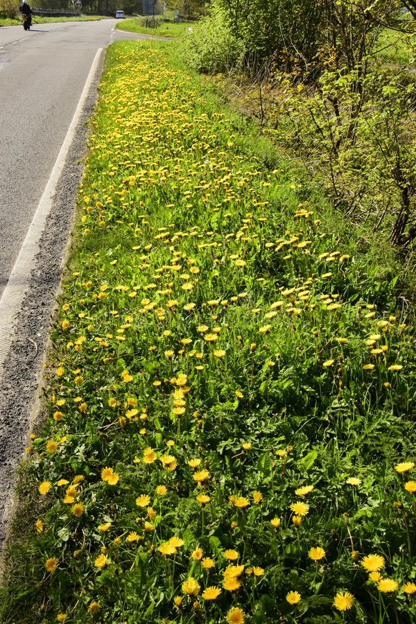 Dandelions Gen; Taraxacum. Growing wild and flowering on this roadway grass verge here in the countryside of Southern England stock photography