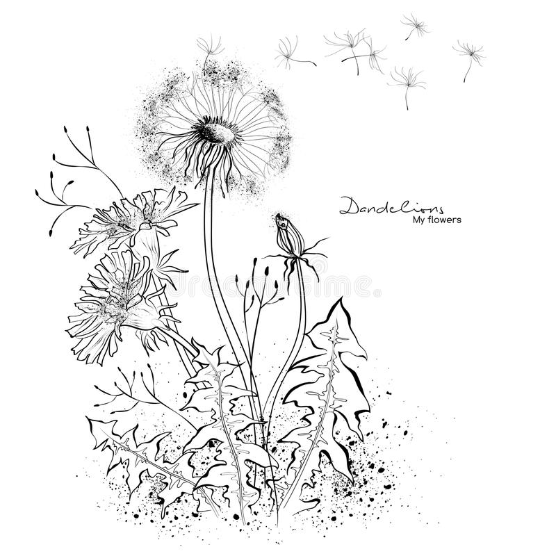 Dandelions graphic drawing stock illustration
