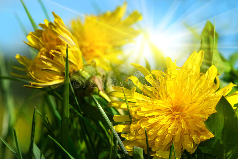 Dandelions in the grass. Against a blue sky royalty free stock photo