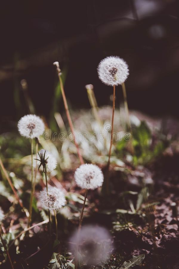 Dandelions in the grass. Close up view stock photo