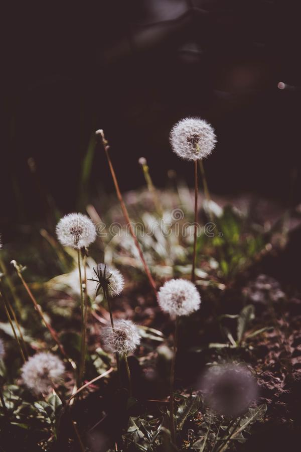 Dandelions in the grass. Close up view royalty free stock photo