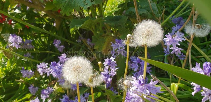 Dandelions i Bluebells obrazy stock