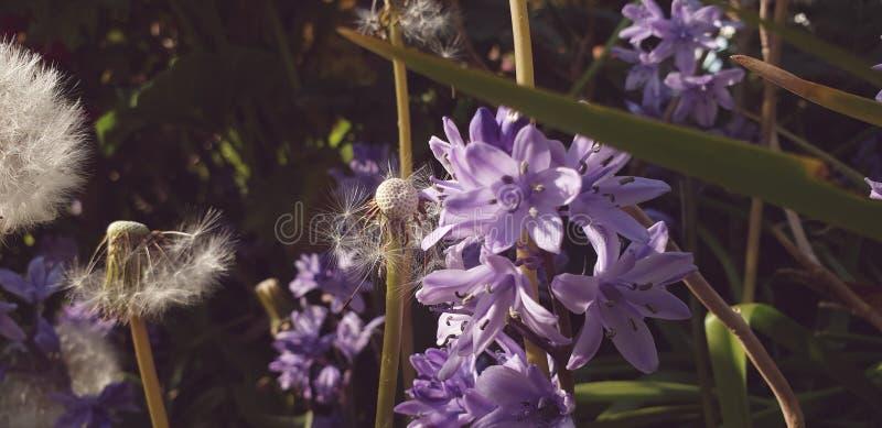 Dandelions i Bluebells fotografia stock