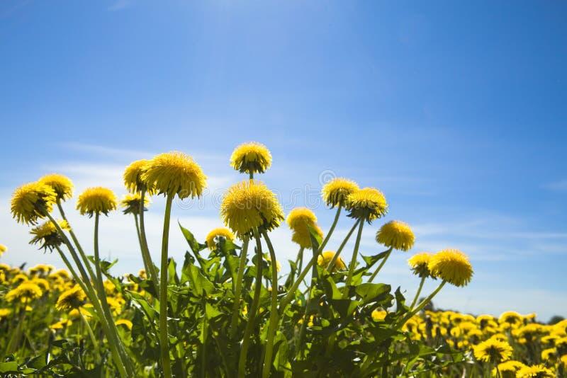 dandelions kolor żółty obrazy royalty free