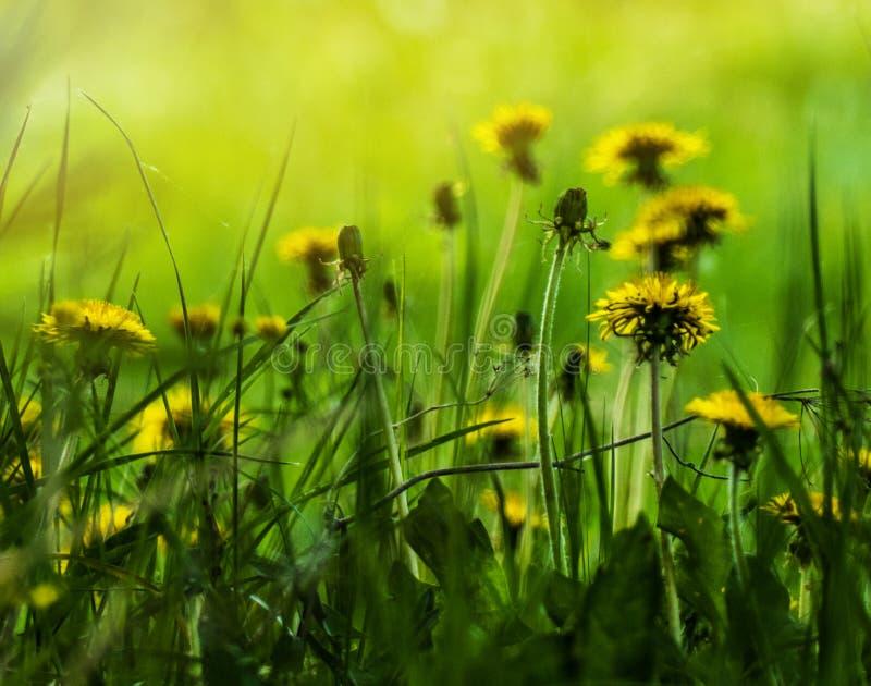 Dandelions kwitn?cy na hali?nie zdjęcie royalty free