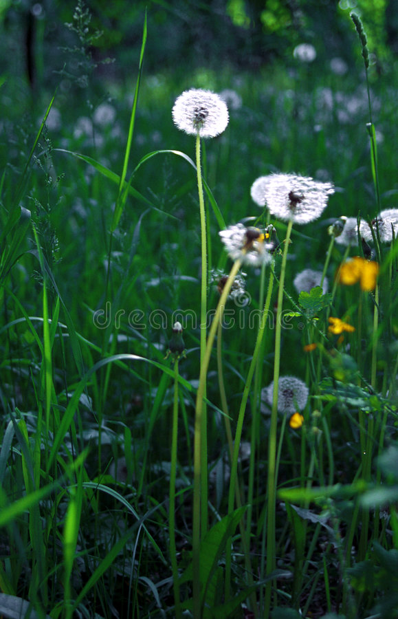 Dandelions meadow stock photos