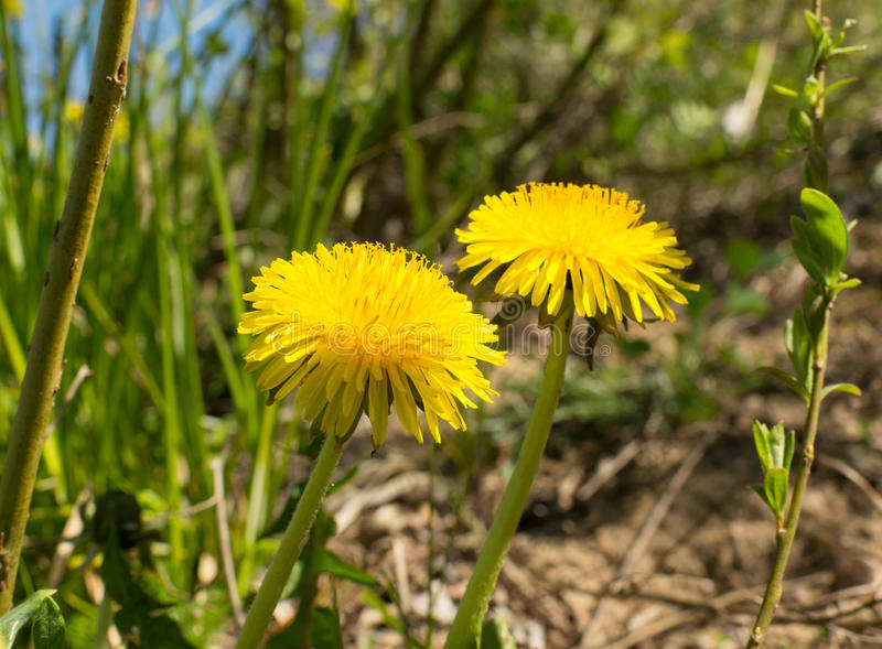Dandelions in the meadow. royalty free stock image