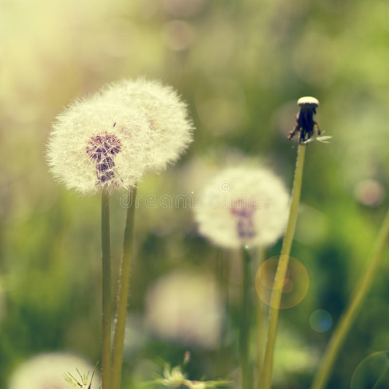 Dandelions on meadow royalty free stock image