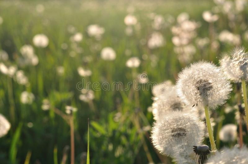 Dandelions in the meadow in spring stock photo