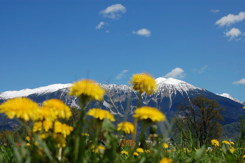 Download Dandelions And The Mountains Stock Image - Image: 5089367