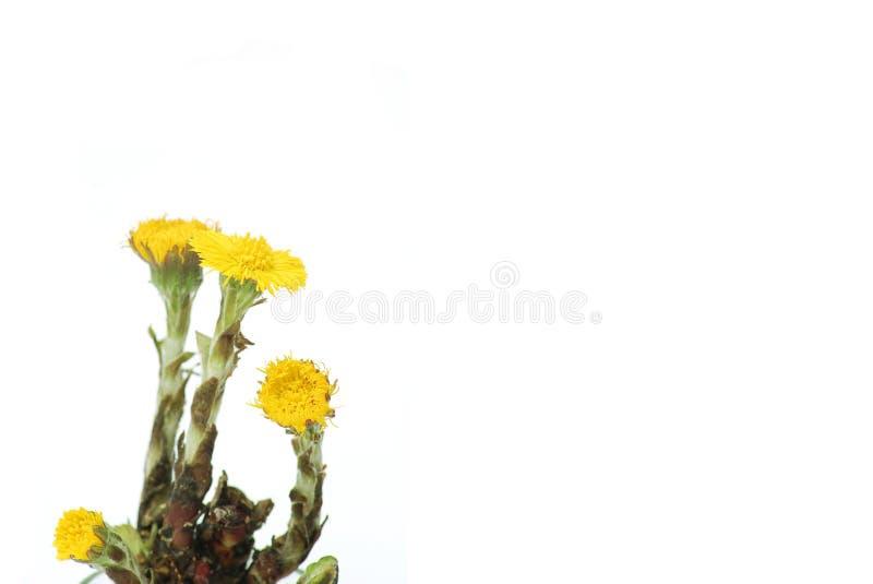 Download Dandelions najpierw obraz stock. Obraz złożonej z ziemia - 13326351
