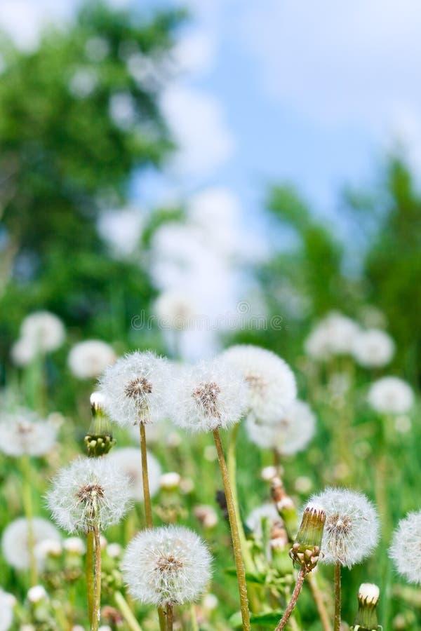 dandelions niebo zdjęcia stock
