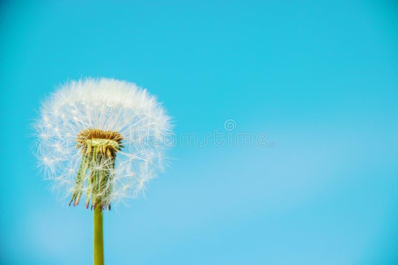 Dandelions Przeciw niebu obraz stock