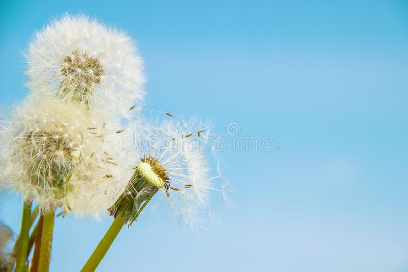 Dandelions Przeciw niebu obraz royalty free