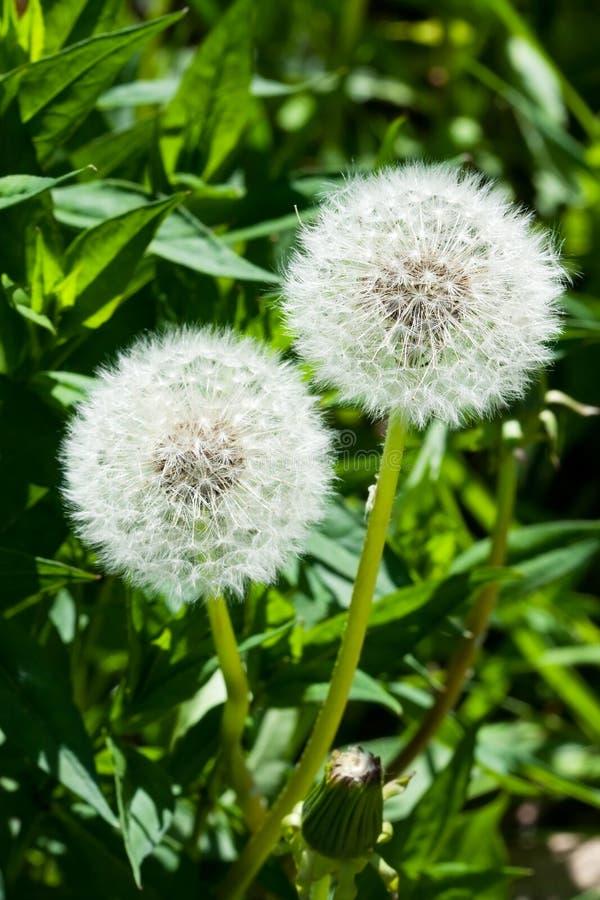 dandelions puszyści dwa obrazy royalty free