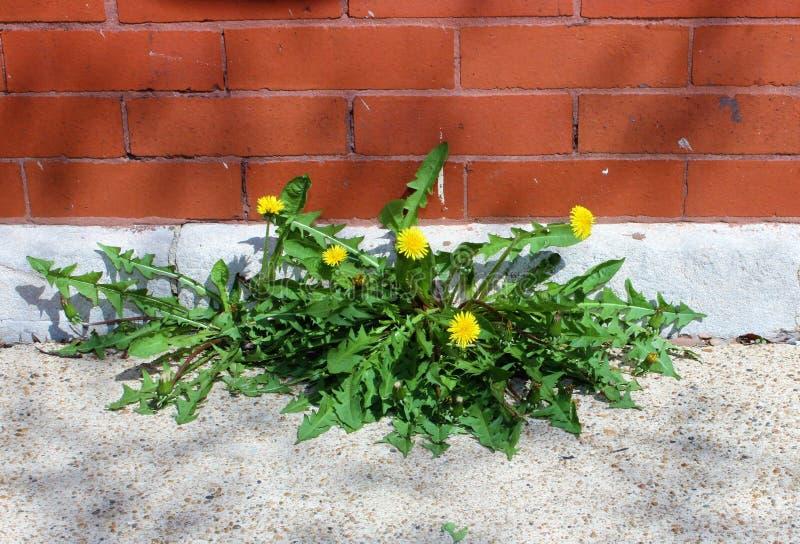 Dandelions R Między ścianą i chodniczkiem, uporczywość fotografia stock