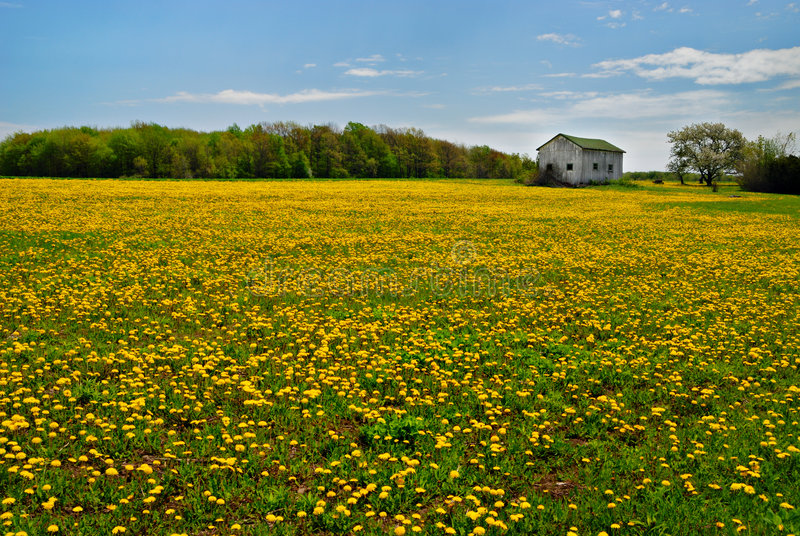 Dandelions In Rural Field Stock Image