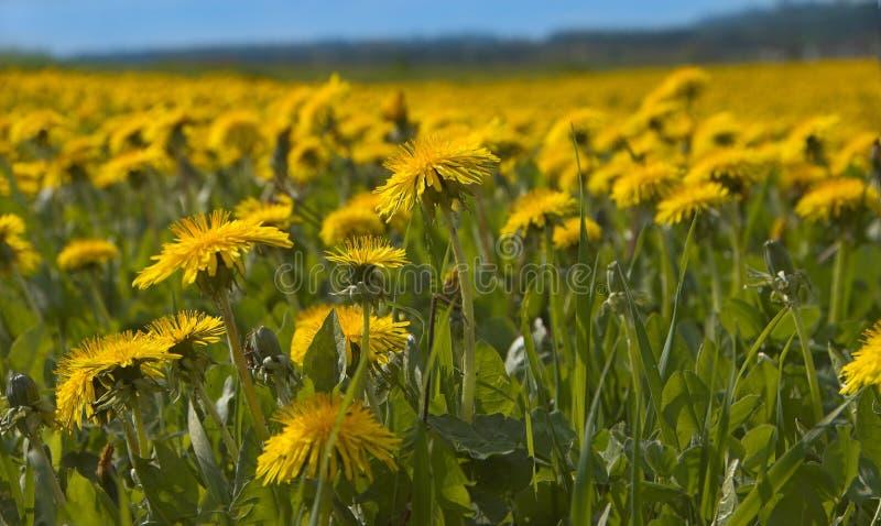 dandelions słońce obrazy royalty free