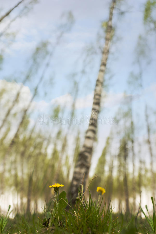 Dandelions in scandinavian birch tree forest stock photos