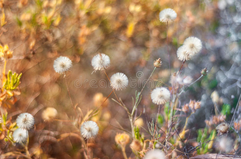 Dandelions in spring royalty free stock photography