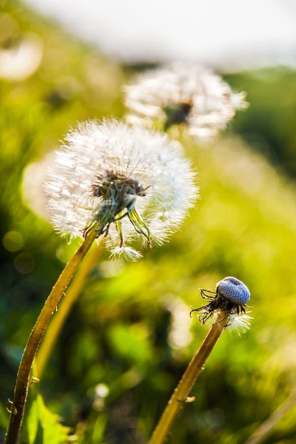 Dandelions in the sun stock photos
