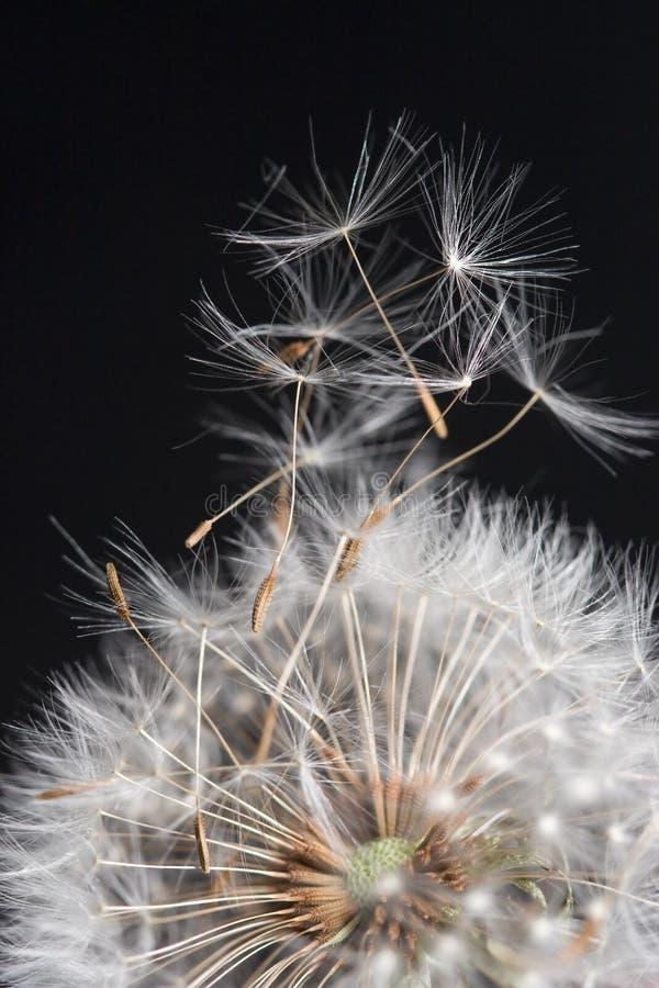 Download Dandelions Taking Flight Stock Image - Image: 5677631