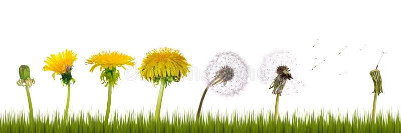 dandelions trawy życie obrazy stock