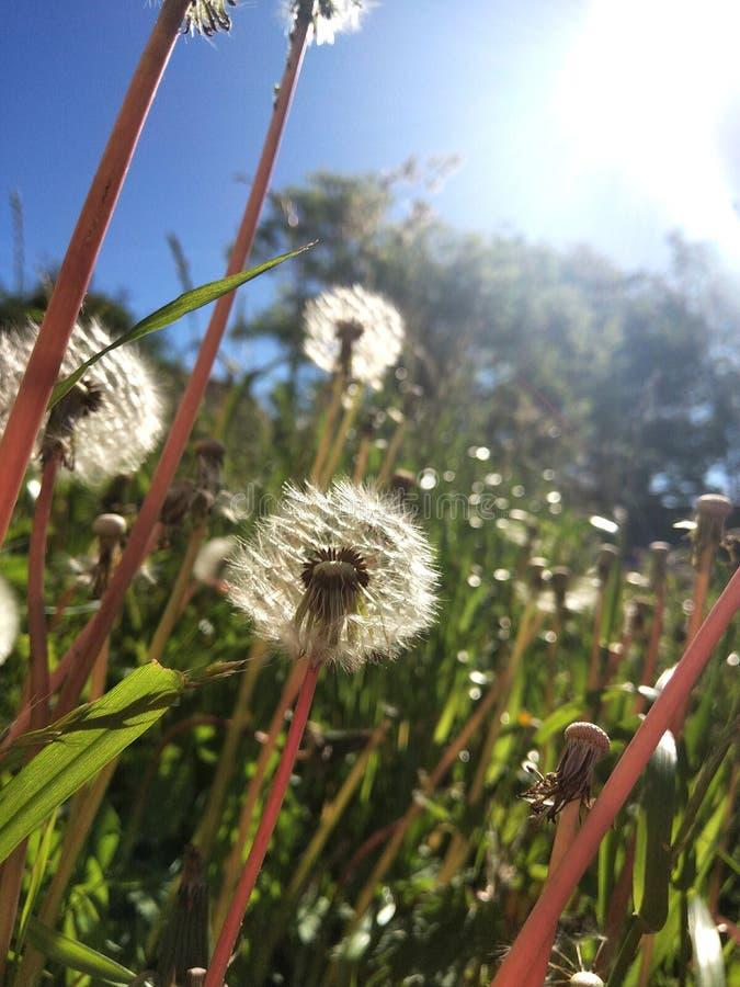 Dandelions w świetle słonecznym zdjęcie royalty free