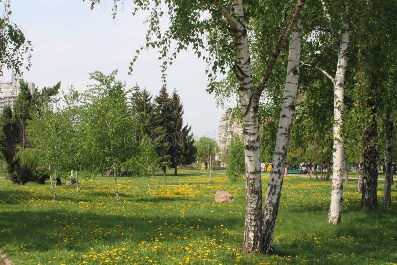 Dandelions w brzozach zdjęcia royalty free