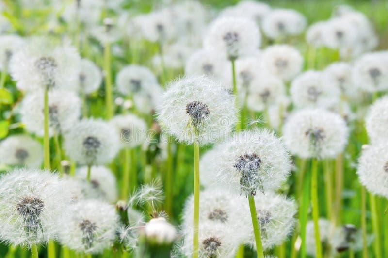 Dandelions w polu obraz royalty free