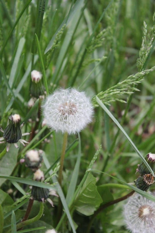 Dandelions w zielonej trawie zdjęcie stock