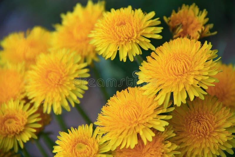 Dandelions. Yellow Beautiful Dandelions in meadow royalty free stock photos