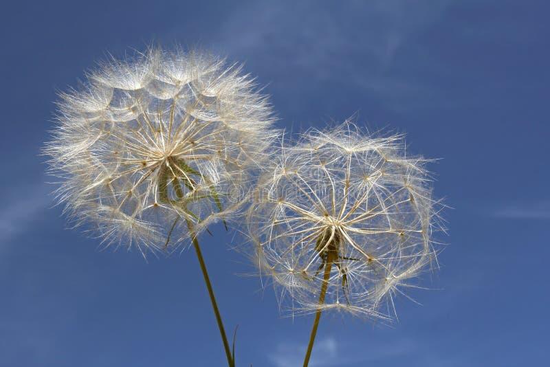 Dandelions z niebem w tle zdjęcia royalty free