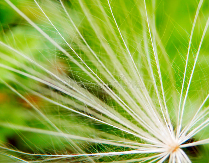 Dandelions ziaren szczegół obraz stock