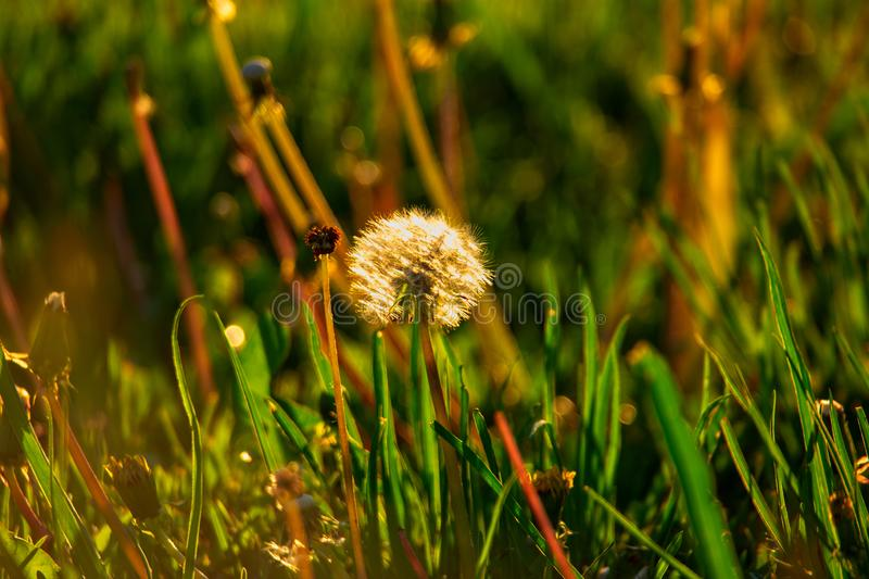 Dandellion blowball in summer grass stands alone backlit. By sunset light royalty free stock photography